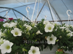 The petunia is ampelous, a surfiniya, classical,