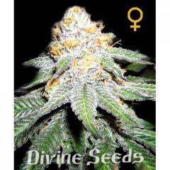 Seeds of White Widow fem divine seeds hemp