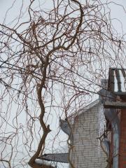 Деревья  Ива Матсуда  Salix matsudana Koidz