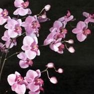 Орхідея фаленопсис в асортиментах