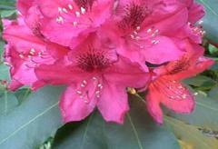 Rhododendron of 'Nova Zembla'