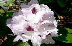 Rhododendron saplings, grade of 'Calsap'