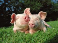 Кормовая добавка для свиней - сапонитовая мука