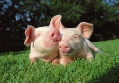 Animal husbandry: pig-breeding