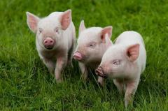 Additive mineral in forage of pigs - SAPOKORM