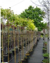 Матеріал посадковий листяних вічнозелених