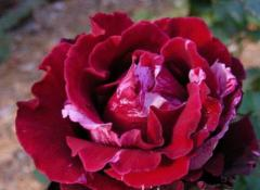 Саженцы роз Крезиван
