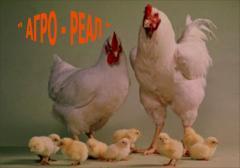 Продам цыплят-бройлеров КОББ-500 и РОСС-308