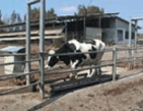 AfiWeigh - el peso del ganado bovin