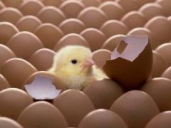 Реализация цыплят яичных пород: Борковская