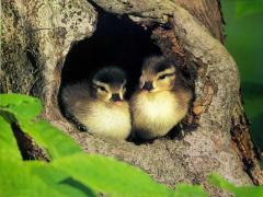 Инкубация птице-молодняка: утки, гуси, бройлеры.