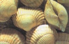 """Mollusk of """"Serdtsevidk"""