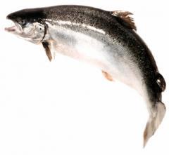 "Salmon ""Scottish"