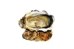 """Oyster """"White Pearls"""