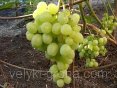 Саженцы винограда Супер-Экстра