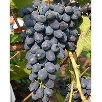 Сажанцы винограда  Волхв