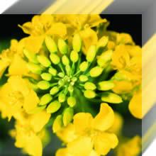 Seeds Winter colza: ARTUS hybrid