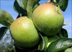Саженцы яблони Ренет Симиренка