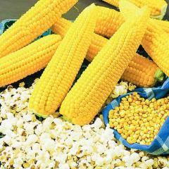 "Seeds of corn ""Popcorn"