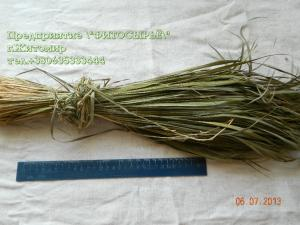 Holy grass Hierochloe odorata, Sweeetgrass. grass,