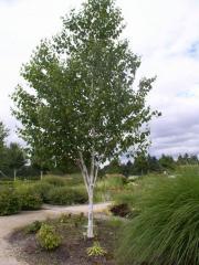 Берёза полезня (Betula utilis) в росте 3.5-4 м