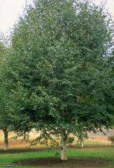 Берёза полезня Жакмана (Betula utilis Jacuemontii)