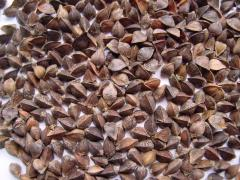 Buckwheat sowing 1 reproduction: Disack,