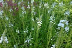 Растения горочные и почвопокровные