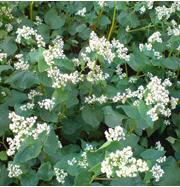 Buckwheat seeds, High-quality buckwheat from seed