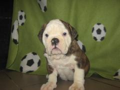 Yorkshire terrier, English bulldog
