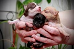 Чихуахуа щенки (мальчики и девочка)
