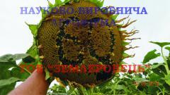 Sunflower seeds, Grade Donskoy - 60