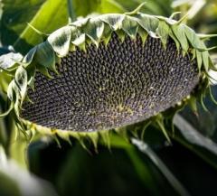 Семена подсолнечника, Сорт Донской - 60