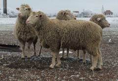 Breeding ram producer