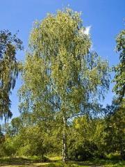 Birch saplings