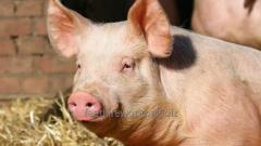Feed for pig meat and meat greasy genotype