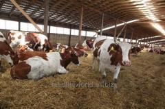 Fodder for cattle