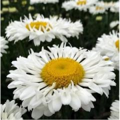 Camomile of Real Neat, 2nd r_chn