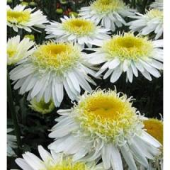 Camomile of Real Glory, 2nd r_chn