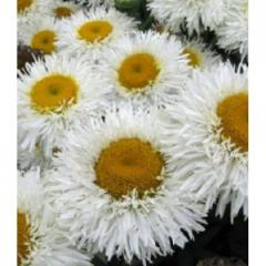 Camomile of Real Galaxy, 2nd r_chn