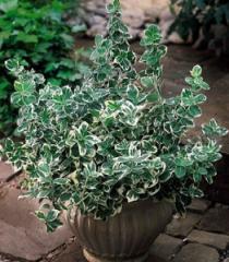 Euonymus of sr_bnolistiya of Emerald Gaiety, the