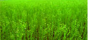 Seeds of flax sowing, the Grade Reliable,
