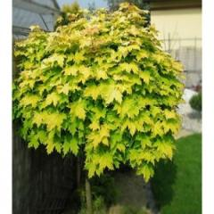 Crimson Gold maple, the form Is imparted