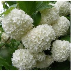 Guelder-rose of Buldonezh, 2nd r_chn