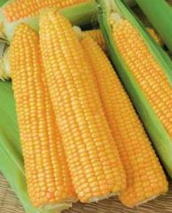 Corn of Goldy F1 (500gr)