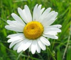 Camomile pharmaceutical sale, wholesale