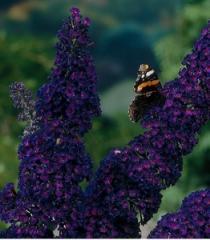 Orange-eye butterflybush of Black Knight, 2nd
