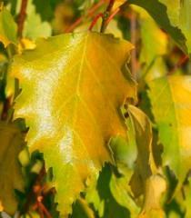 Birch of plakuch of Schneverdinger Goldbirke