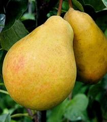 Pear l_tnya V_lyams