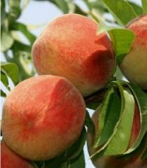 Персик київський ранній